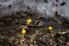 First tender Eranthis, delicate wild primroses, snow. First spring plants, seasons, weather. Spring background royalty free stock photo