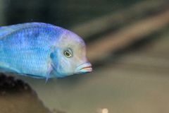 Serioulsy blue fish for a walk. First time see this blue fish with serioulsy face in Portugal royalty free stock photo