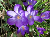 First to Bloom Crocus Blossoms in Washington DC Stock Photography