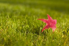 First to Fall. A single fallen red maple leaf on a freshly cut lawn of green grass as autumn begins to fall on northern California Royalty Free Stock Image