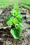 First Trifoliate Soybeans Royalty Free Stock Photos