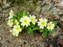 The first trumpets spring flowers in the warm spring sun. royalty free stock photos