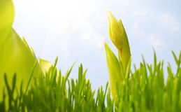 First tulip in grass under the sun Royalty Free Stock Image