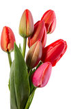 First tulips Stock Photos