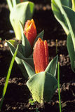 First Tulips of Spring Stock Images