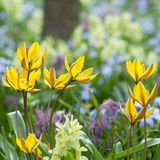The first tulips on a spring day. Yellow tulips. First flowers after winter. Spring Royalty Free Stock Photos