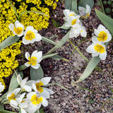 The first tulips on a spring day. Yellow tulips. First flowers after winter. Spring Royalty Free Stock Images