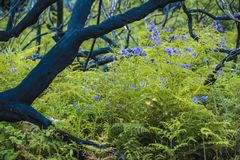 After the fire - first green with blue flowers after the great fire in Australia. First vegetation with fern and blue flowers after great firestorm in the South Royalty Free Stock Photos