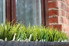 The first vegetation after winter, window decoration. grass in a vase against a window and a brick wall. partial focus royalty free stock photography