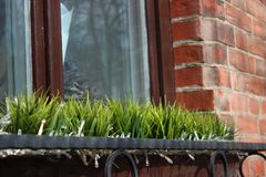 The first vegetation after winter, window decoration. grass in a vase against a window and a brick wall. partial focus stock images