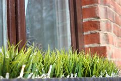 The first vegetation after winter, window decoration. grass in a vase against a window and a brick wall. partial focus royalty free stock image