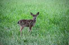 The first viewing of a fawn Stock Photography