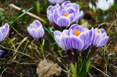 First violet crocus flowers Royalty Free Stock Photo