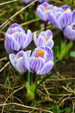 First violet crocus flowers Royalty Free Stock Photography