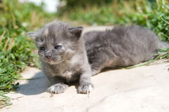 First walk of small kittens Royalty Free Stock Photography