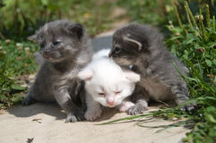 First walk of small kittens Royalty Free Stock Photo