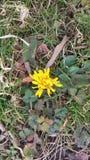 First warm weather. Dandelion in garden Stock Photo