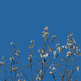 First white blosson against sky - nature spring background. Royalty Free Stock Photo