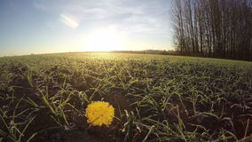 First white frost with yellow aspen leaf on farm wintering wheat crop sprouts. Timelapse 4K stock footage