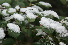 First white snow on green leaves Stock Images