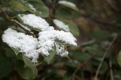 First white snow on green leaves Stock Photography