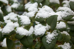 First white snow on green leaves Royalty Free Stock Photos