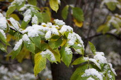 First white snow on green leaves Stock Photos