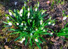 The first white snowdrops in early spring among last year`s leaves in the forest royalty free stock images