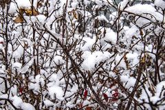 First winter snow on bushes royalty free stock photos
