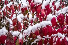 First winter snow on bushes with red leaves royalty free stock images
