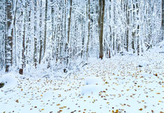 First winter snow and last autumn leafs in forest Stock Photo