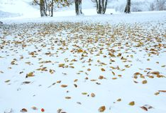 First winter snow and last autumn leafs in forest Stock Images