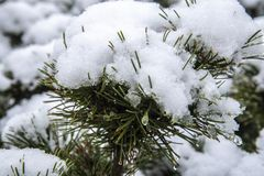 First winter snow on pine bush royalty free stock photography