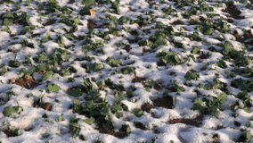 First winter snow on rapeseed agriculture plant farm field stock footage