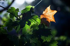 First yellow autumn leaf between green leaves Royalty Free Stock Images