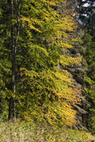 First yellow leafs. Early in autum stock image