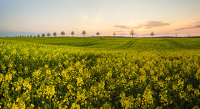 First young ears. Spring field in Germany,first young ears Royalty Free Stock Image