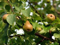 Ripe pears on leafy tree Stock Images
