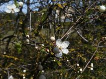 Firsts rings of plum tree. Spring collection: beauty of tree`s blossom Stock Photos