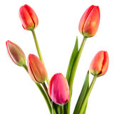 The firsts tulips Stock Photo