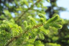 firtree κλάδων Στοκ Φωτογραφία