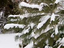 Firtree κλάδοι και χιόνι Στοκ Εικόνες