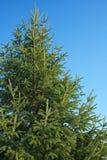 firtree Стоковое Изображение