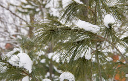 Firtree branches and snow close-up Royalty Free Stock Images