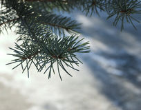 Firtree isolated on white. Snow. background, nature closeup Royalty Free Stock Image