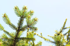 Firtree on sky background Stock Image