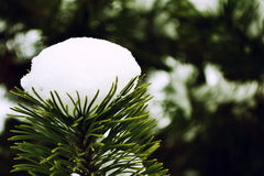 A firtree with snow Royalty Free Stock Image
