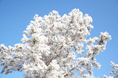 Firtree tree crown at winter Stock Images