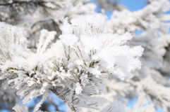 Firtree tree in fluffy hoarfrost Royalty Free Stock Photography