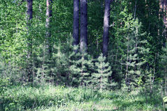 firtrees στοκ εικόνα